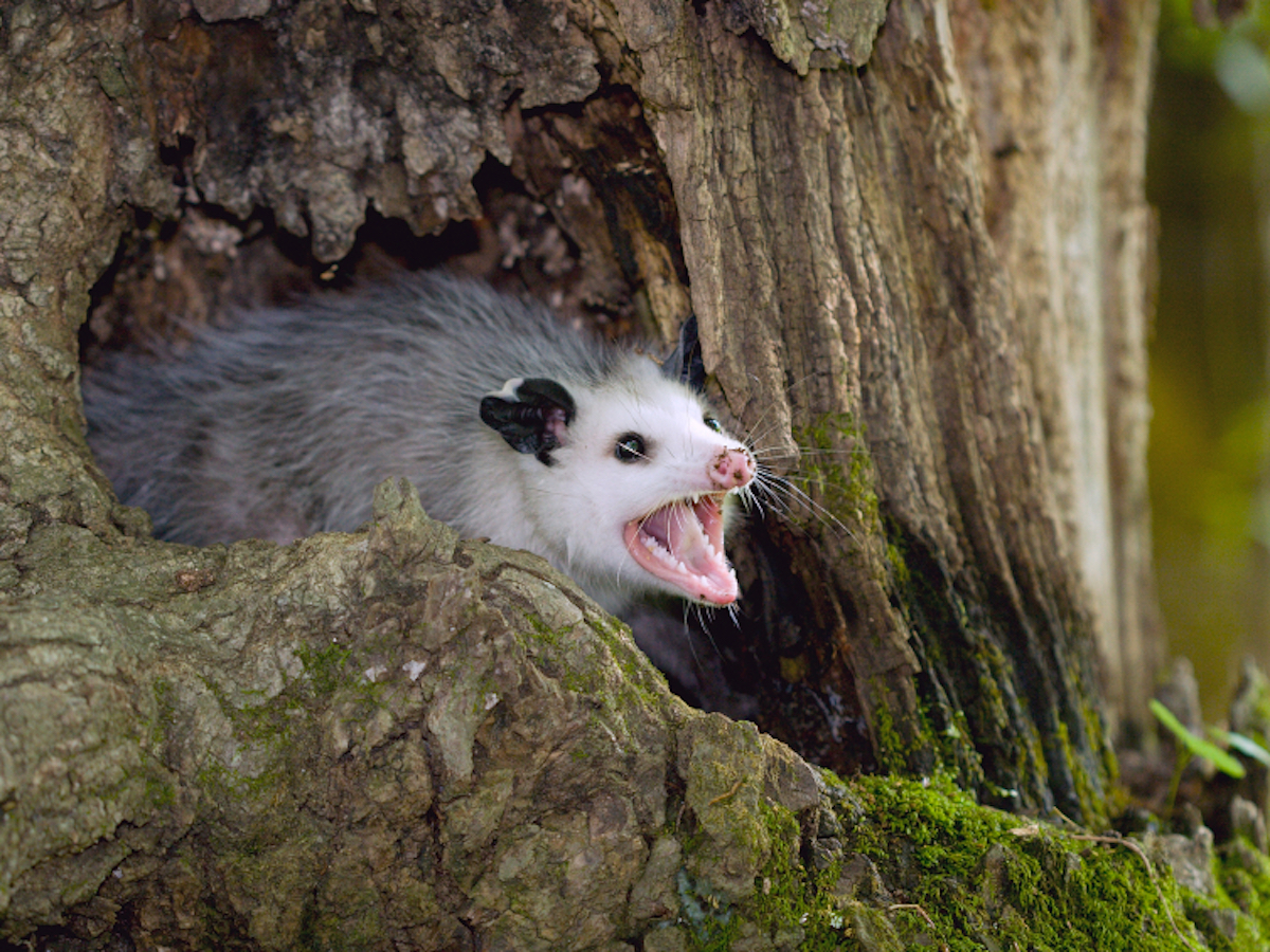 istock_000003154046small_opossum-in-a-tree