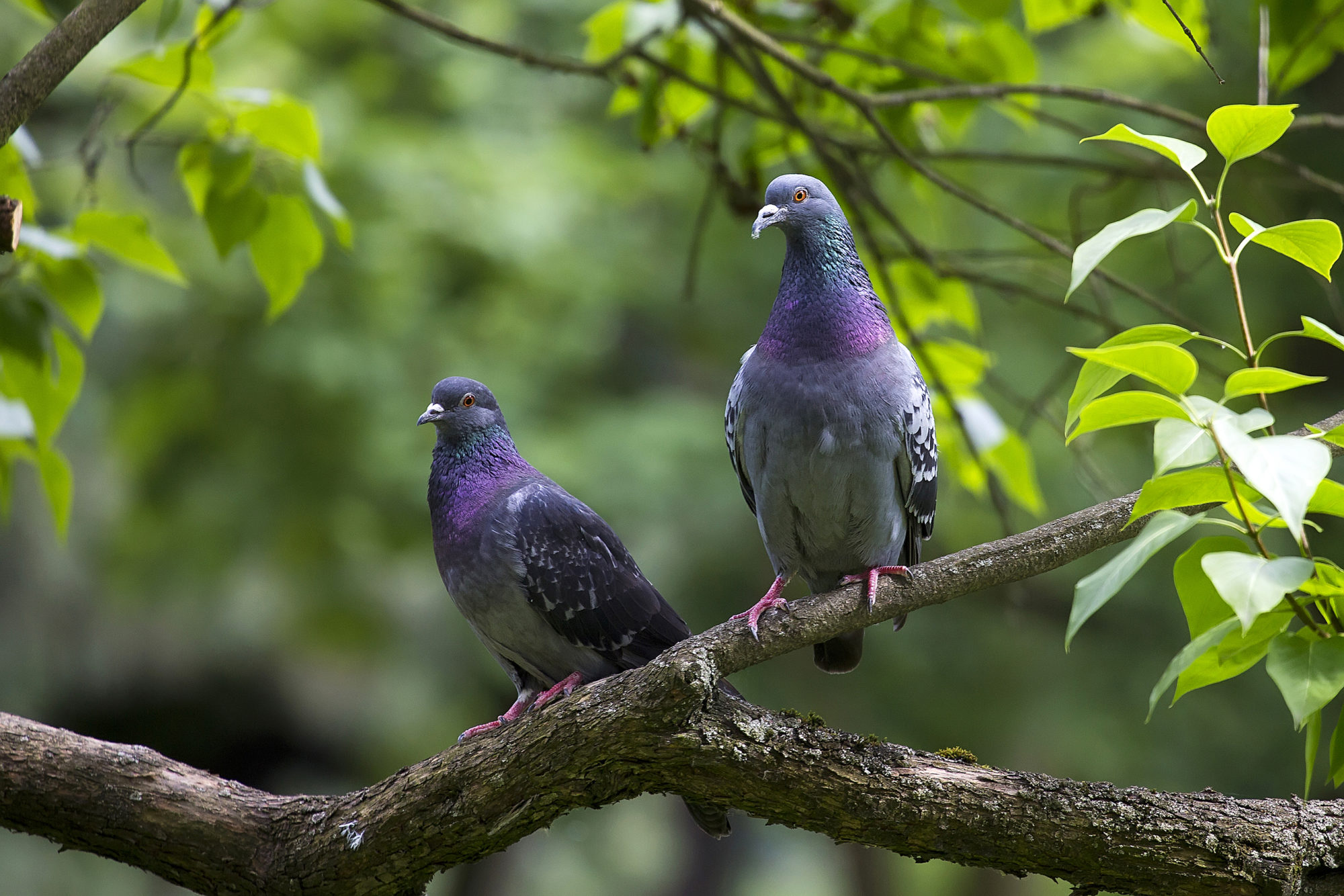 pigeons-in-the-forest-P43FHM3