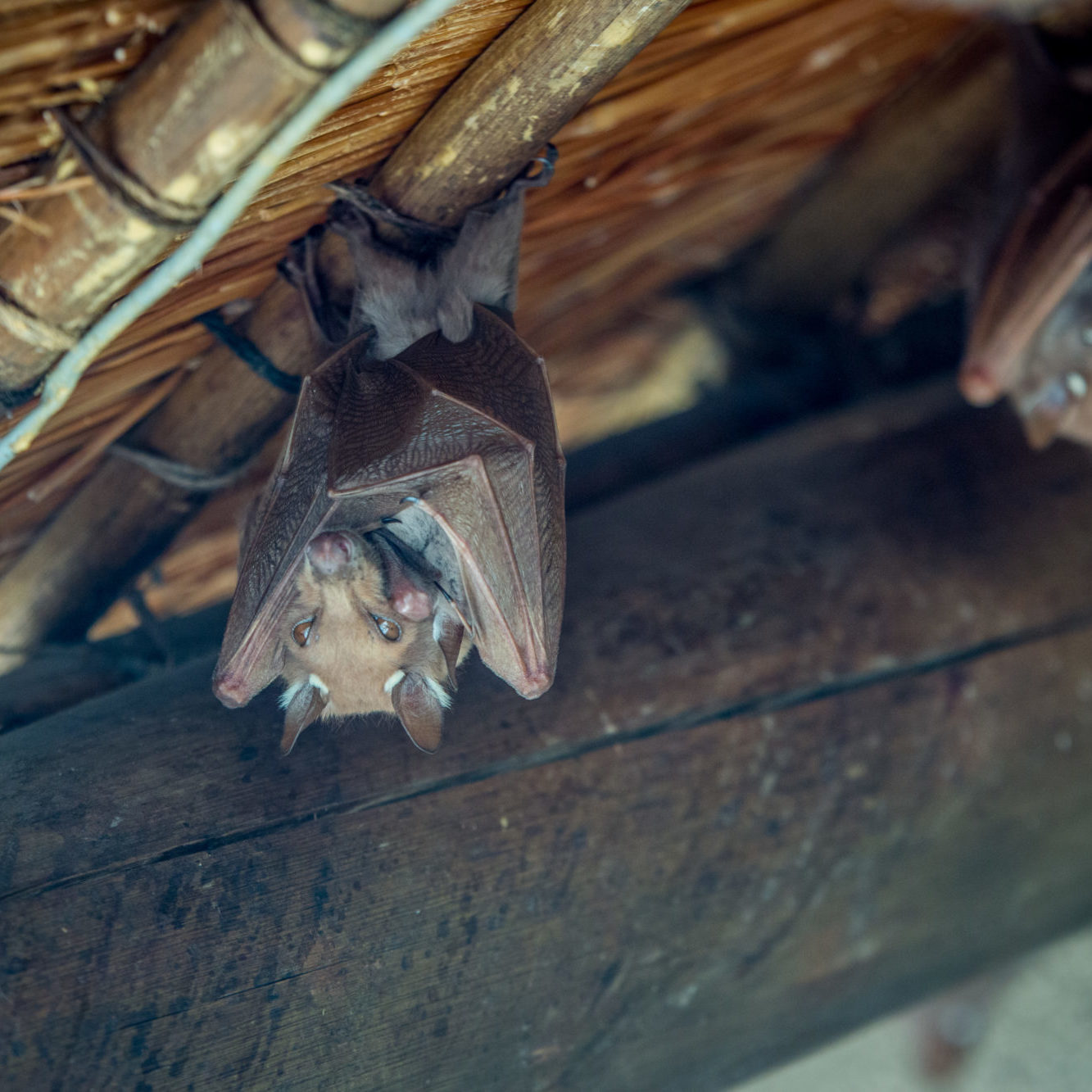 Epaulet bat hanging upside down from a roof in the Kruger National Park, South Africa.