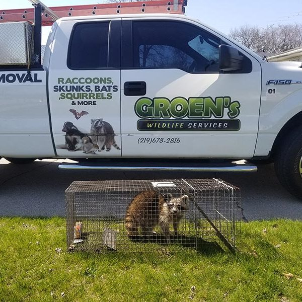 raccoons-removal-service